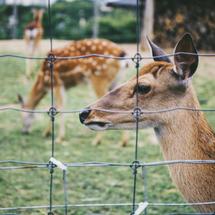 deer behind a fence