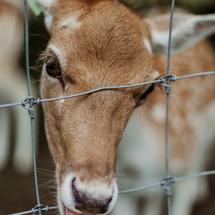 deer face through fence