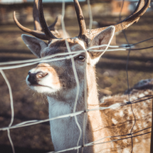 a deer behind a fence